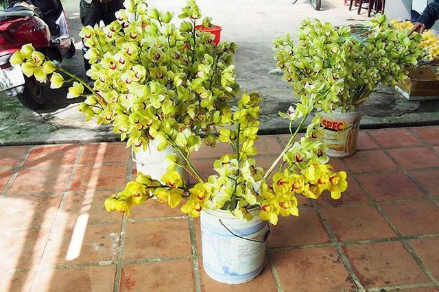 Hoa lan rớt giá vì nở sớm trước Tết cả tháng - Ảnh 1.