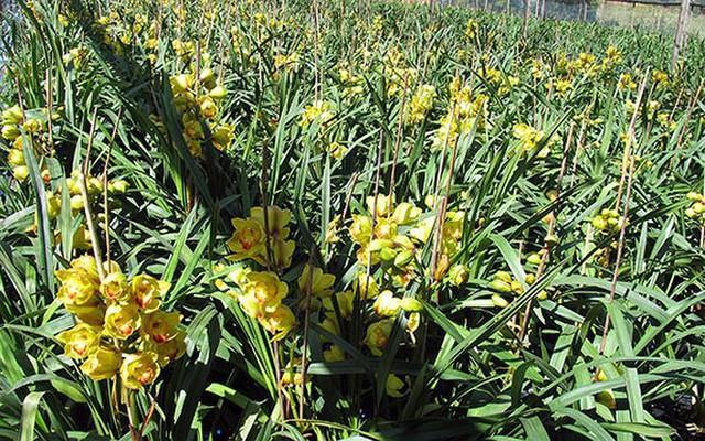 Hoa lan rớt giá vì nở sớm trước Tết cả tháng - Ảnh 2.