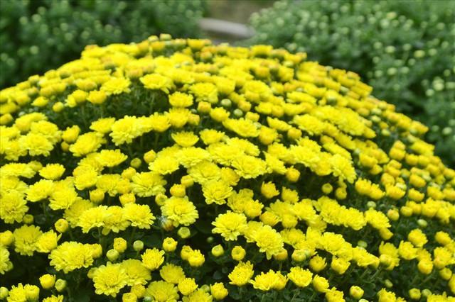 Làng hoa Sa Đéc: Thời tiết bất thường, trên 70% hoa cúc trổ sớm - Ảnh 1.