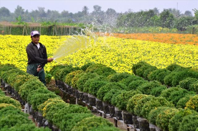 Làng hoa Sa Đéc: Thời tiết bất thường, trên 70% hoa cúc trổ sớm - Ảnh 2.