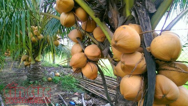Độc đáo giống dừa ngồi hái ở miền Tây  - Ảnh 1.