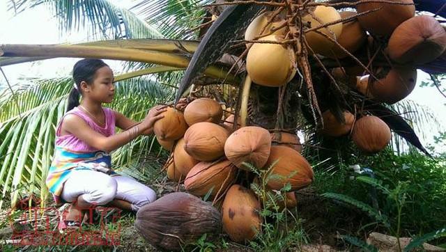 Độc đáo giống dừa ngồi hái ở miền Tây  - Ảnh 4.