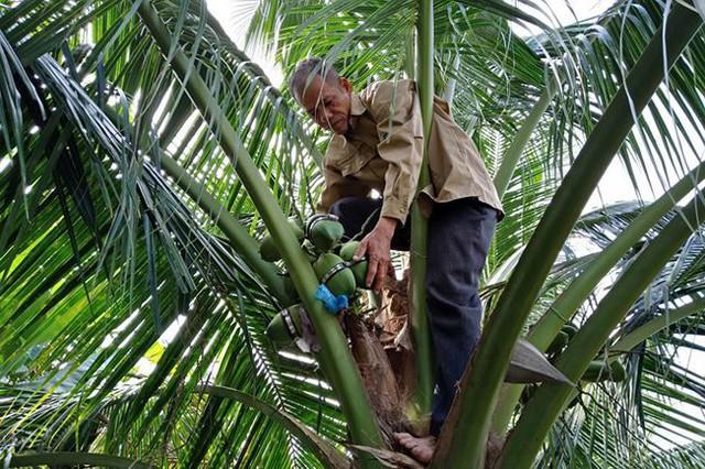 Ông Nguyễn Hoàng Phúc đang kiểm tra dừa hồ lô của mình.Ảnh: Kim Hà.