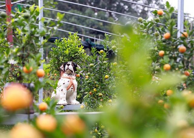 Mỗi chậu quất chú chó đốm này được chủ nhân giao bán với giá khoảng 2 triệu đồng. (Ảnh VOV).