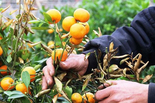 Những cây quất quả đã chín chuẩn bị bán cho thị trường Tết, giờ người dân rơi vào cảnh trắng tay