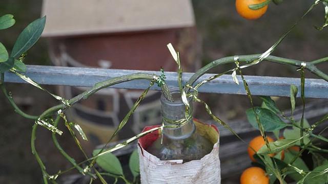 Quất trồng trong chai thủy tinh chờ Tết nguyên đán - Ảnh 3.