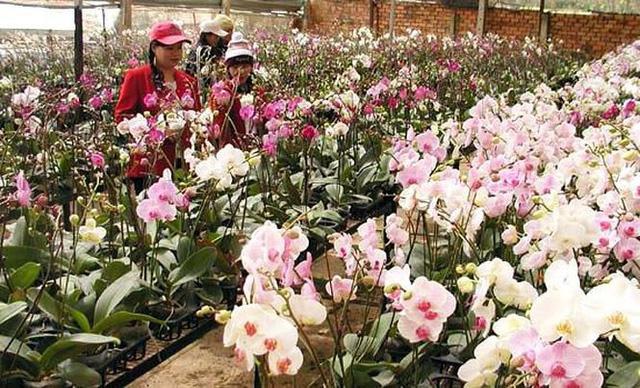 Hoa lan rớt giá vì nở sớm trước Tết cả tháng - Ảnh 3.
