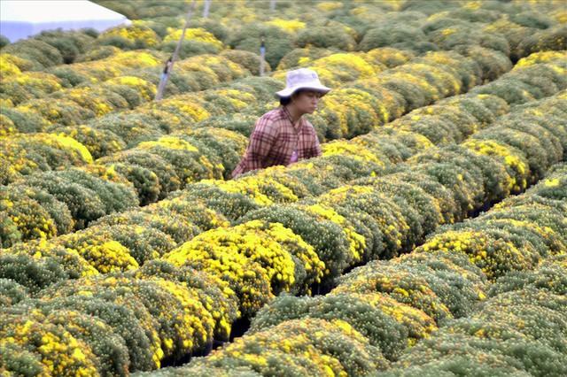 Làng hoa Sa Đéc: Thời tiết bất thường, trên 70% hoa cúc trổ sớm - Ảnh 3.
