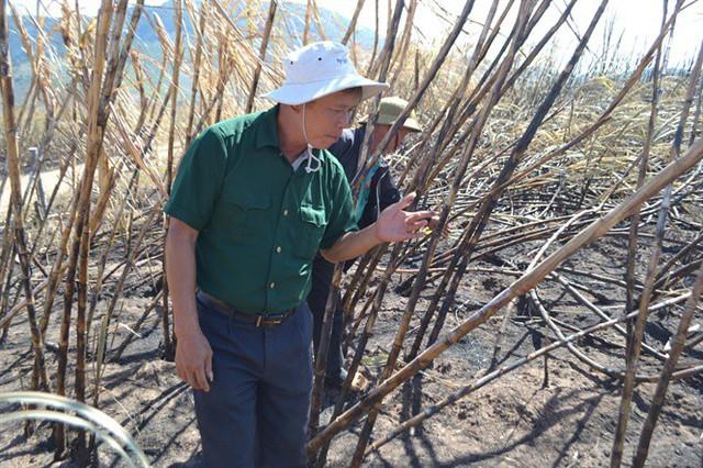 Gần 100ha mía ở Ia Piơr bị cháy rụi, thiệt hại hàng tỷ đồng - Ảnh 2.