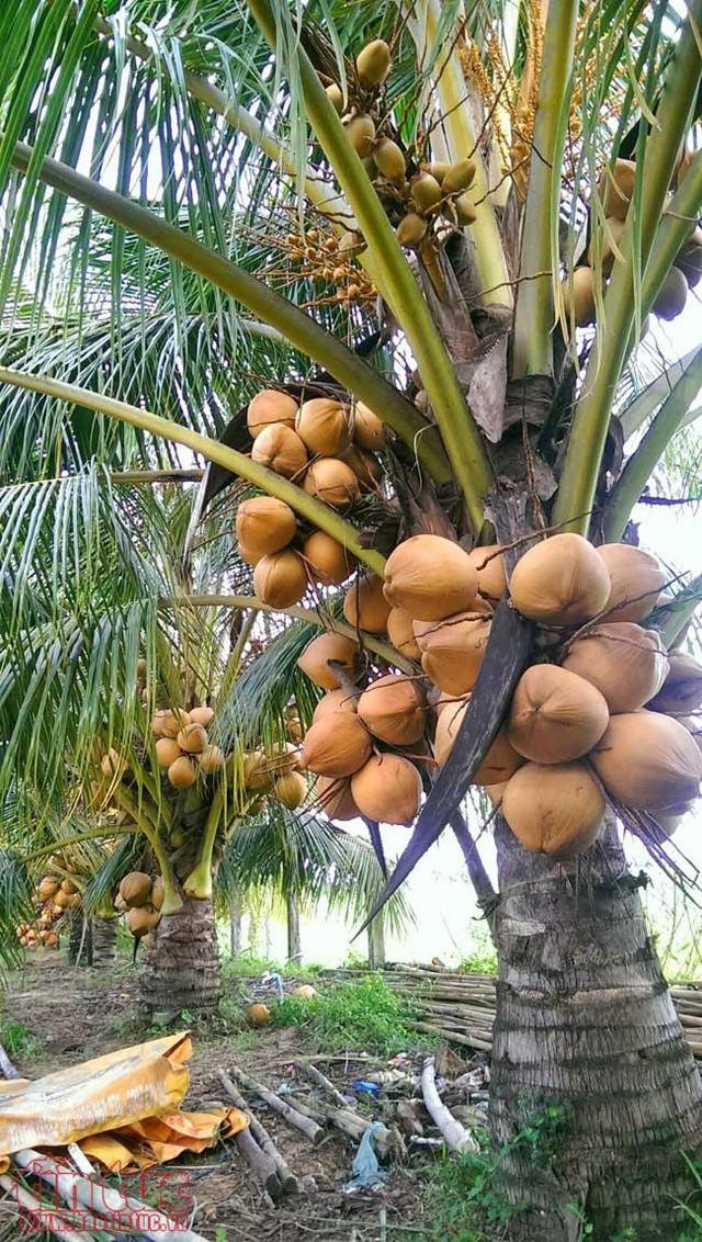 Độc đáo giống dừa ngồi hái ở miền Tây  - Ảnh 2.