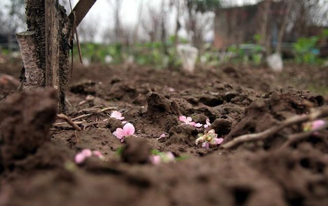 Nếu không cắt bán kịp, hoa sẽ rụng đầy gốc và đến sang năm mới được ăn.