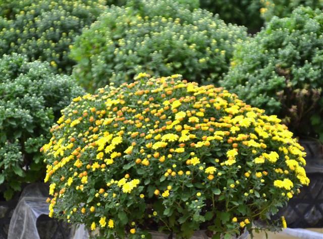 Làng hoa Sa Đéc: Thời tiết bất thường, trên 70% hoa cúc trổ sớm - Ảnh 4.