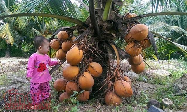 Độc đáo giống dừa ngồi hái ở miền Tây  - Ảnh 3.