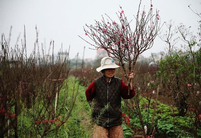 Một người nông dân ôm 3 cành đào nhưng chỉ được 120.000 đồng.