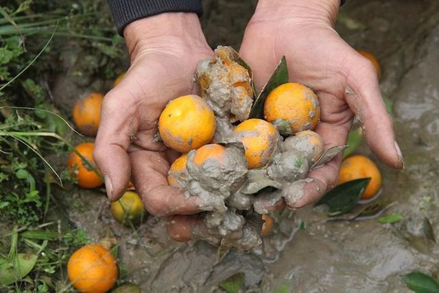Hình ảnh người nông dân khóc nghẹn bên 450 gốc quất bị phá hoại dịp cận Tết khiến cộng đồng mạng xót xa - Ảnh 5.