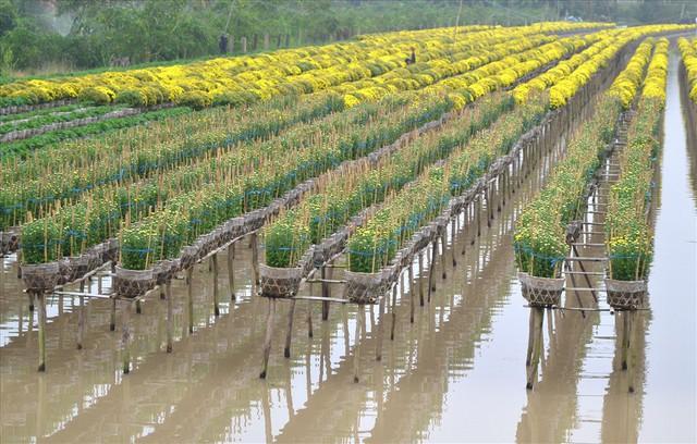 Làng hoa Sa Đéc: Thời tiết bất thường, trên 70% hoa cúc trổ sớm - Ảnh 5.