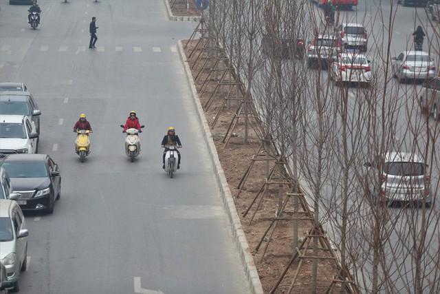 Cận cảnh cây phong lá đỏ mới được trồng trên đường phố Hà Nội - Ảnh 6.