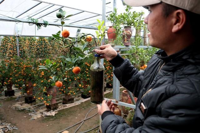 Những cây quất trồng trong chai thủy tinh đòi hỏi sự chăm sóc đặc biệt. Việc tạo thế cũng rất tỉ mỉ vào khéo léo để khi bày lên bàn không bị đổ. (Ảnh cand.com.vn).