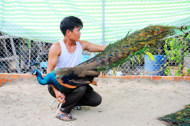 """""""Đột nhập"""" trang trại nuôi chim công lớn nhất miền Tây - Ảnh 7."""