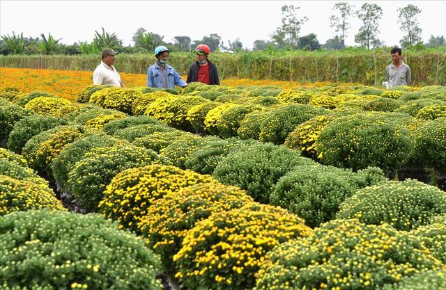 Làng hoa Sa Đéc: Thời tiết bất thường, trên 70% hoa cúc trổ sớm - Ảnh 8.
