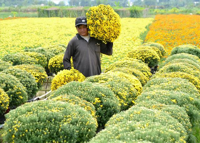 Làng hoa Sa Đéc: Thời tiết bất thường, trên 70% hoa cúc trổ sớm - Ảnh 9.