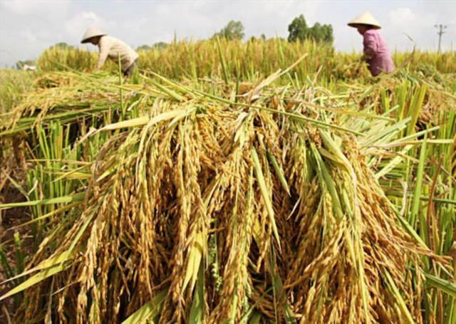 Bộ NNPTNT muốn tập trung xuất khẩu gạo thơm, gạo nếp - Ảnh 1.