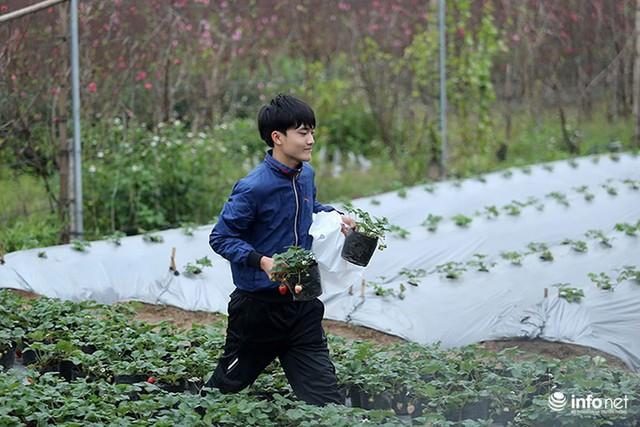 Bất ngờ với vườn dâu tây chín đỏ giữa lòng Hà Nội ngay trước Tết Nguyên đán
