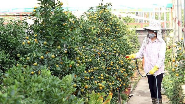 Lợn đất cõng quất bonsai giá bạc triệu chơi Tết ở Hà Nội - Ảnh 11.