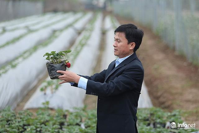 Bất ngờ với vườn dâu tây chín đỏ giữa lòng Hà Nội ngay trước Tết Nguyên đán - Ảnh 4.