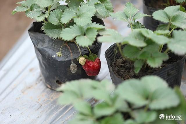 Bất ngờ với vườn dâu tây chín đỏ giữa lòng Hà Nội ngay trước Tết Nguyên đán - Ảnh 6.