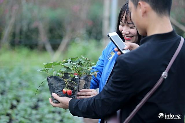 Bất ngờ với vườn dâu tây chín đỏ giữa lòng Hà Nội ngay trước Tết Nguyên đán - Ảnh 7.