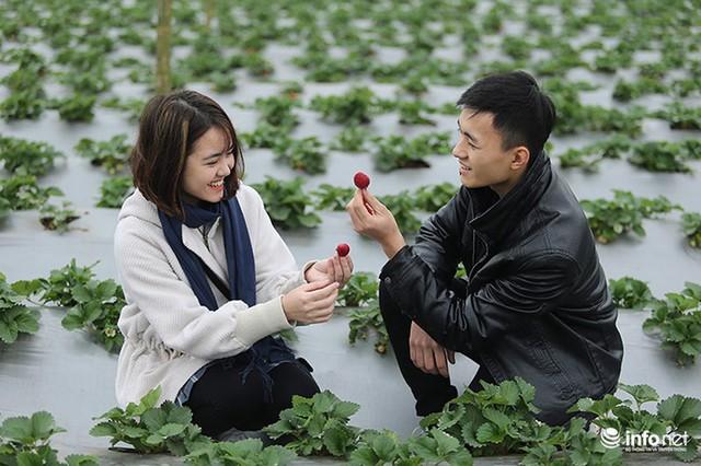 Bất ngờ với vườn dâu tây chín đỏ giữa lòng Hà Nội ngay trước Tết Nguyên đán - Ảnh 9.