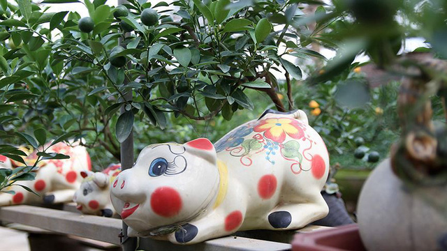 Lợn đất cõng quất bonsai giá bạc triệu chơi Tết ở Hà Nội - Ảnh 10.