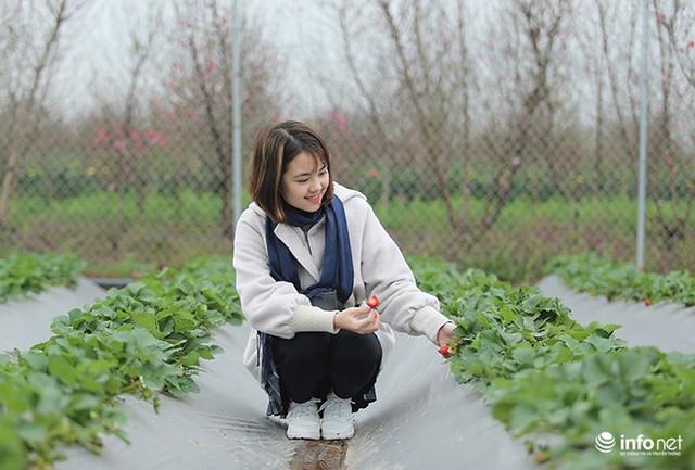Bất ngờ với vườn dâu tây chín đỏ giữa lòng Hà Nội ngay trước Tết Nguyên đán - Ảnh 10.