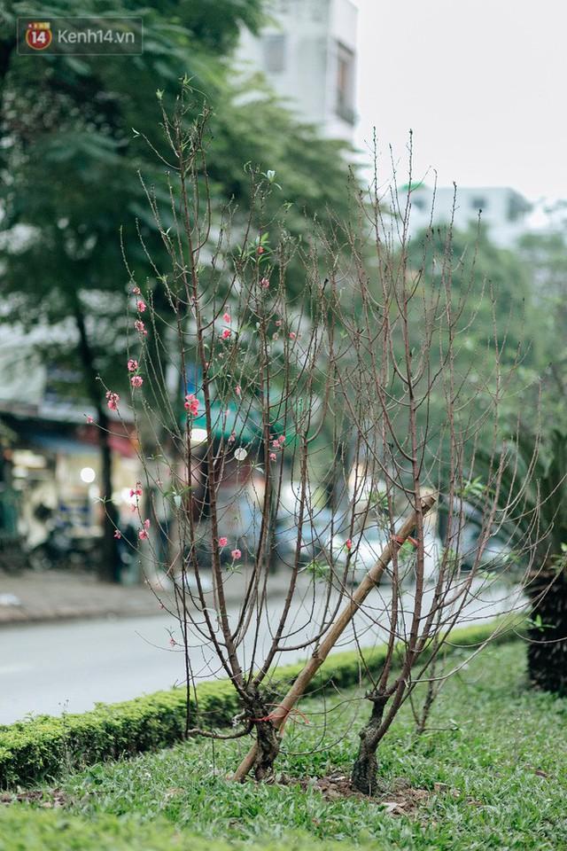 Chùm ảnh: Hoa đào đã nở đỏ rực trên những tuyến phố Hà Nội, Tết đã đến rất gần rồi! - Ảnh 2.