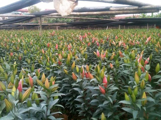 Nông dân Tây Tựu hốt bạc nhờ trồng hoa ly - Ảnh 1.