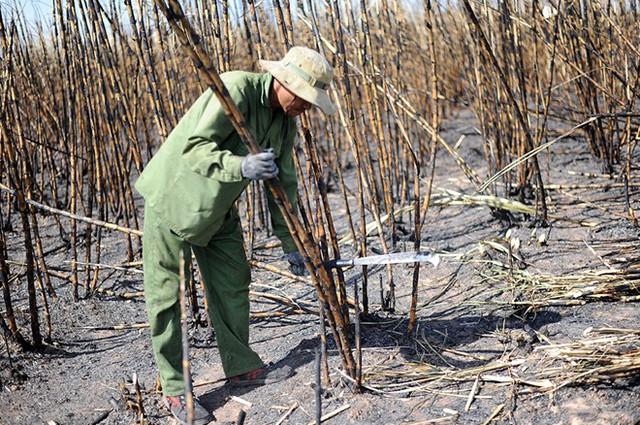 Nông dân gánh nợ vì liên tiếp xảy ra cháy mía - Ảnh 1.