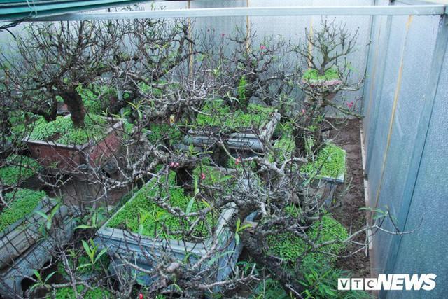 Dân làng Nhật Tân xây phòng riêng, lắp điều hòa cho đào bung nở đúng dịp Tết Nguyên đán - Ảnh 2.