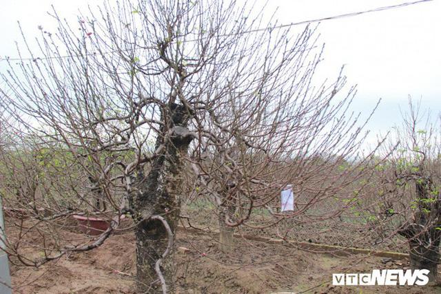 Dân làng Nhật Tân xây phòng riêng, lắp điều hòa cho đào bung nở đúng dịp Tết Nguyên đán - Ảnh 5.