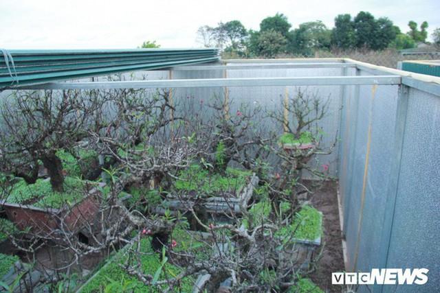 Dân làng Nhật Tân xây phòng riêng, lắp điều hòa cho đào bung nở đúng dịp Tết Nguyên đán - Ảnh 8.