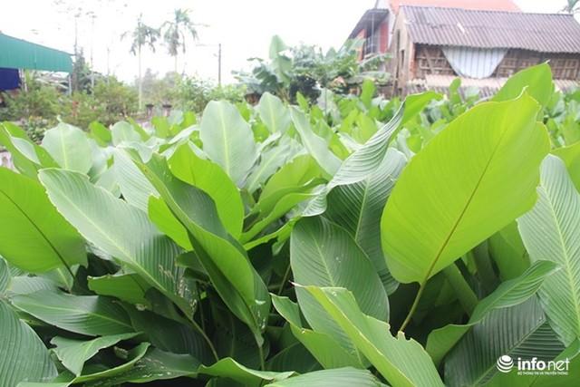 Trăm hộ dân hốt bạc triệu từ trồng lá dong phục vụ Tết - Ảnh 1.
