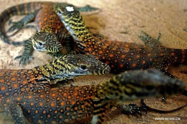 Bảo vệ loài thằn lằn lớn nhất thế giới, Indonesia đóng cửa đảo Komodo - Ảnh 1.