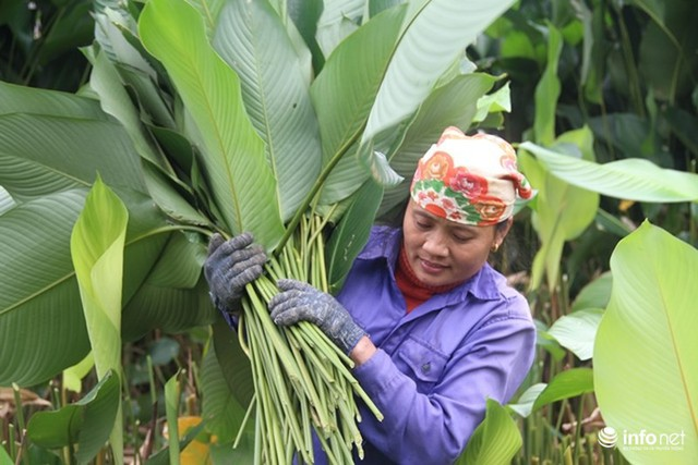 Trăm hộ dân hốt bạc triệu từ trồng lá dong phục vụ Tết - Ảnh 3.