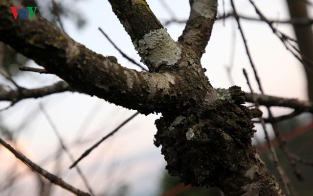 Ảnh: Đào rừng Tây Bắc ngập tràn trên phố núi Lai Châu - Ảnh 16.