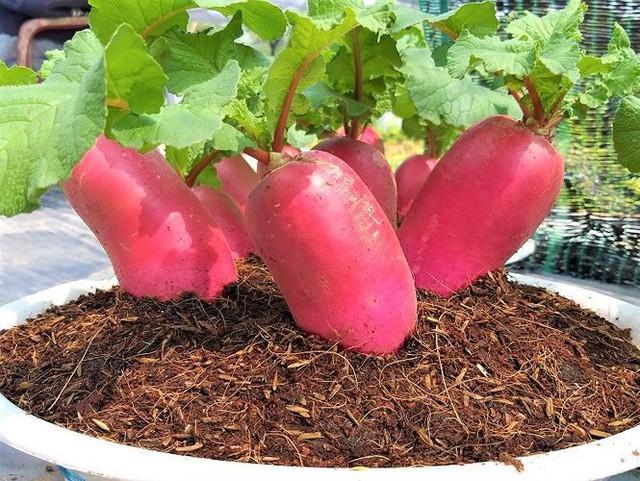 Củ cải hồng phát độc đáo chưng Tết ở Bến Tre - Ảnh 4.