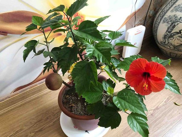 Khách hàng ngã ngửa khi táo bonsai nở hoa... râm bụt - Ảnh 2.