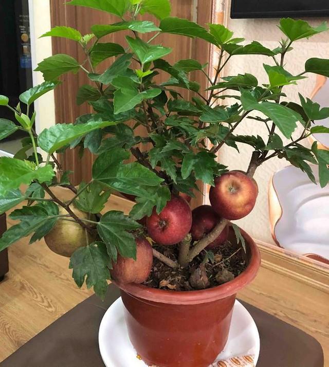 Khách hàng ngã ngửa khi táo bonsai nở hoa... râm bụt - Ảnh 3.