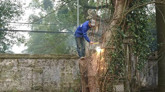 Đang chặt cây sưa trăm tỷ từng gây lùm xùm suốt 8 năm ở Hà Nội - Ảnh 1.