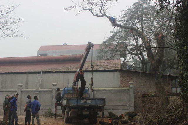 Đang chặt cây sưa trăm tỷ từng gây lùm xùm suốt 8 năm ở Hà Nội - Ảnh 2.