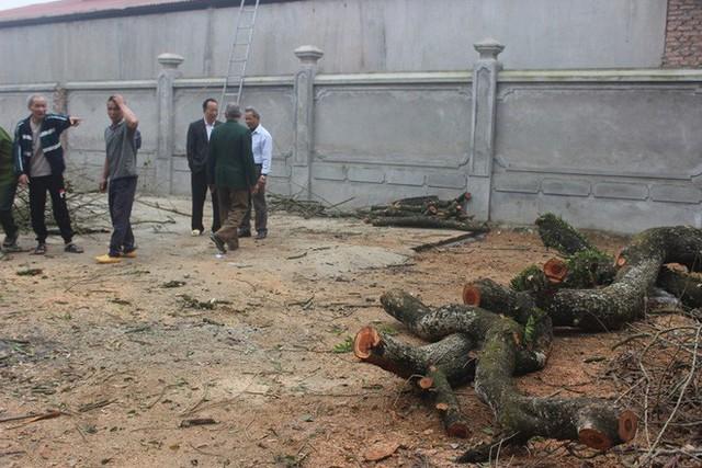 Đang chặt cây sưa trăm tỷ từng gây lùm xùm suốt 8 năm ở Hà Nội - Ảnh 3.